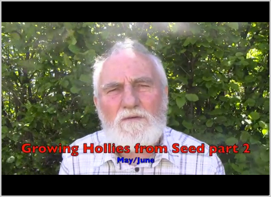 Growing Hollies from Seed part 2