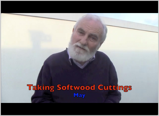 Taking softwood cuttings