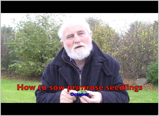 October-How to sow primrose seedlings